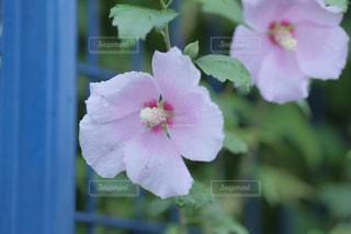 近くの花のアップの写真・画像素材[1458667]