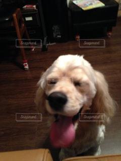 テーブルの上に座っている犬の写真・画像素材[1459045]