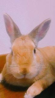 ウサギの寛ぎの写真・画像素材[1465762]
