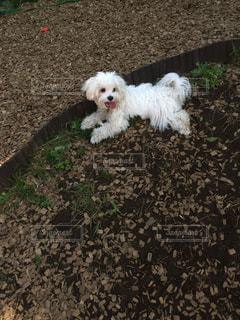 草の中の小さな白い犬立っての写真・画像素材[1460201]