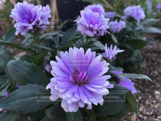 紫の花の写真・画像素材[1460224]