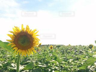 ひまわり畑の写真・画像素材[1460291]