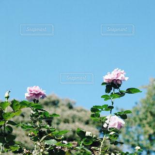 バラの花、古河庭園にての写真・画像素材[1685153]