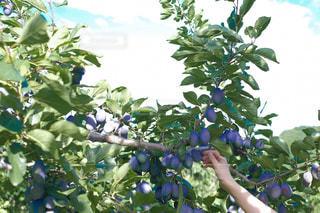 秋の果物狩りデートの写真・画像素材[2398270]