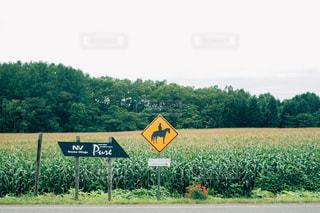 北海道のとうもろこし畑の写真・画像素材[2398272]