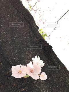 幹から覗く桜の写真・画像素材[1464825]