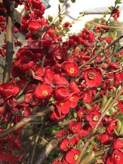 赤い花の写真・画像素材[1464877]