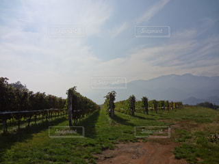 ぶどう畑の写真・画像素材[1585863]