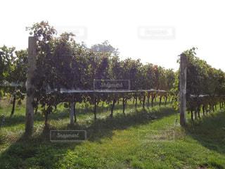 葡萄畑の写真・画像素材[1585864]