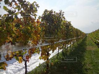 ブドウ畑の写真・画像素材[1585866]