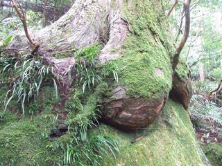 木の根に苔の写真・画像素材[1588464]