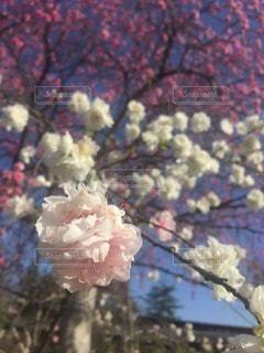花の写真・画像素材[47347]