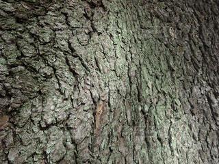 松の幹の写真・画像素材[1589574]