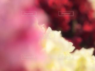 紅白の花による背景の写真・画像素材[1468311]