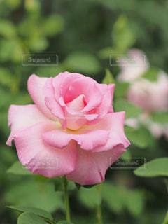 花のクローズアップ(薔薇)の写真・画像素材[2213155]