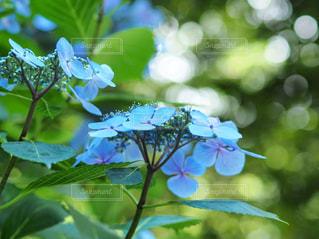 花のクローズアップ( 紫陽花)の写真・画像素材[2223313]
