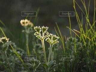 輝く雑草 横位置の写真・画像素材[3080799]