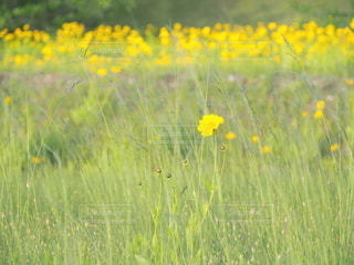 野原の黄色い花の写真・画像素材[3220639]