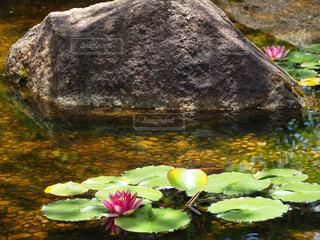 睡蓮の咲く池の写真・画像素材[3239237]