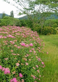 シモツケの花のある風景の写真・画像素材[3270843]