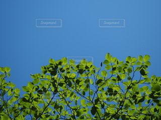 ハナミズキの葉と青空の写真・画像素材[3300047]