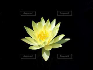 花 睡蓮 黄色の写真・画像素材[3631561]