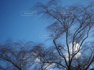 風にそよぐやなぎの枝の写真・画像素材[4083140]