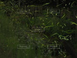 ホタルの光跡の写真・画像素材[4538486]