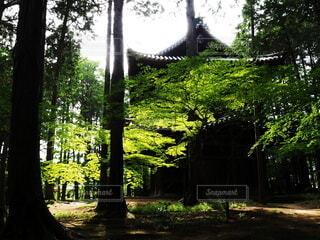 夏のモミジの緑色の葉の写真・画像素材[4549474]