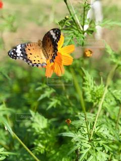 オレンジのコスモスに止まる蝶の写真・画像素材[1484314]