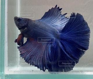青い魚の写真・画像素材[3795907]