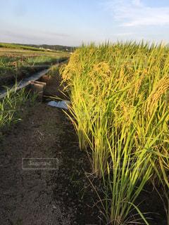 田んぼの稲の写真・画像素材[1469825]