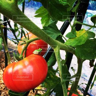 近くにトマトのの写真・画像素材[1484993]