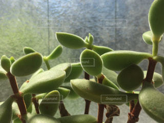 多肉植物の写真・画像素材[1502739]