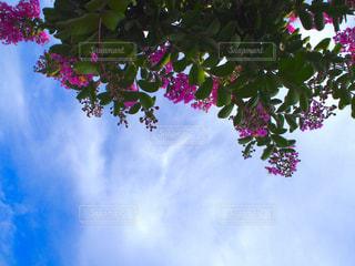 木の上の紫の花のグループの写真・画像素材[1472760]