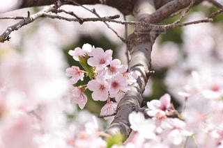桜の写真・画像素材[1471647]