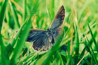芝生と蝶の写真・画像素材[1471731]