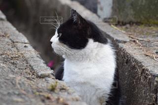 側溝にはまる猫の写真・画像素材[1471737]