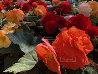 近くの花のアップの写真・画像素材[1470515]