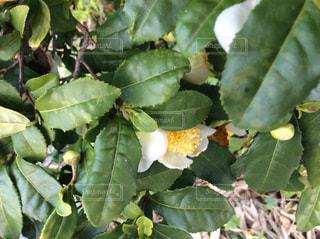 茶の木の花の写真・画像素材[1585128]