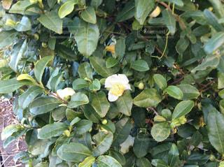 茶の木の花の写真・画像素材[1585129]