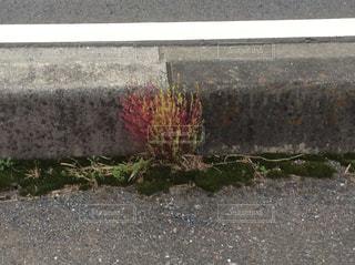 道端のコキアの写真・画像素材[1614632]