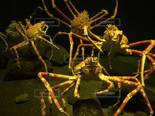 新江ノ島水族館のカニの写真・画像素材[1472951]