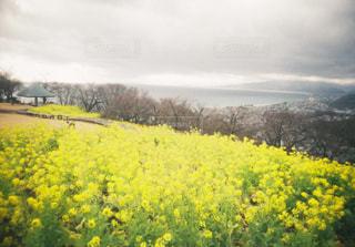 吾妻山の菜の花の写真・画像素材[1504662]