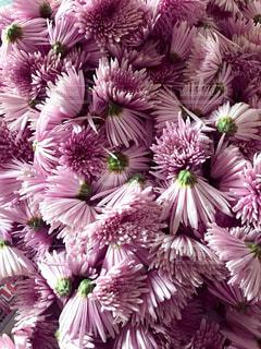 菊の花の写真・画像素材[1532285]