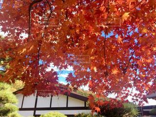鮮やかな紅葉の写真・画像素材[1471108]