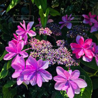 紫陽花の季節の写真・画像素材[1473652]