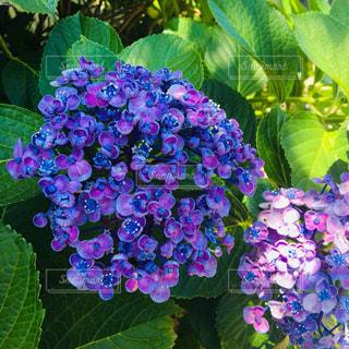 紫陽花の写真・画像素材[1473658]