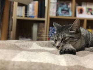 ベッドの上で横になっている猫の写真・画像素材[1511186]