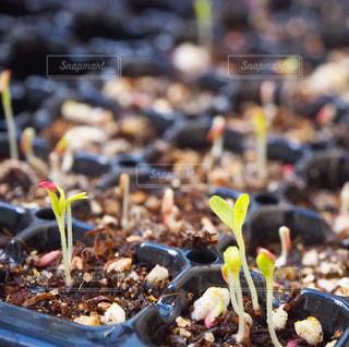 サニーレタスの芽の写真・画像素材[1472561]